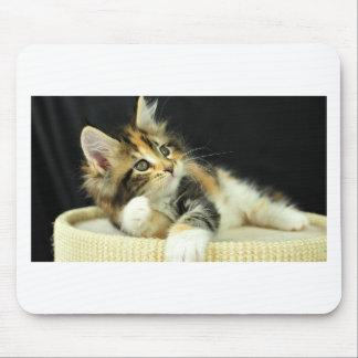 Calico Maine Coon Kitten Plays Mouse Pad