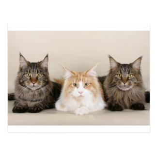 3 maine coons postcard
