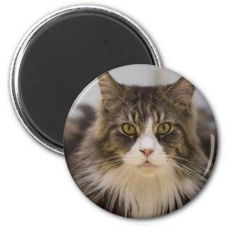 Beautiful maine coon magnet