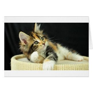 Calico Maine Coon Kitten Plays