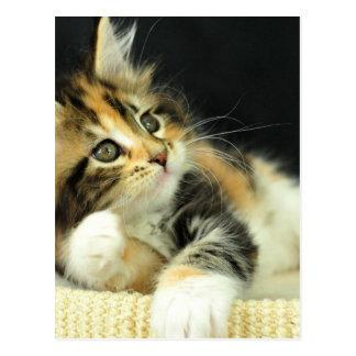 Calico Maine Coon Kitten Plays Postcard