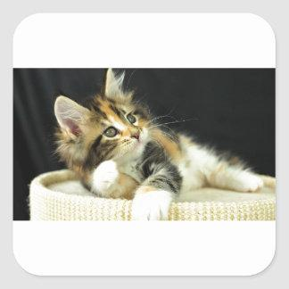 Calico Maine Coon Kitten Plays Square Sticker