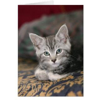 Cute Maine Coon Silver Tabby Kitten, Cat