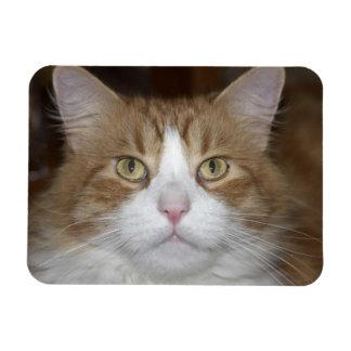Jack domestic orange and white maine coon cat magnet