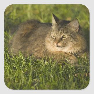 Maine coon (largest breed of domestic cats) square sticker