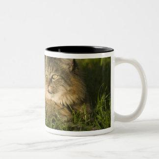 Maine coon (largest breed of domestic cats) Two-Tone coffee mug