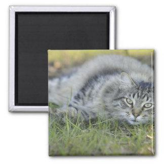 Maine Coon laying in grass, Central Florida. Magnet