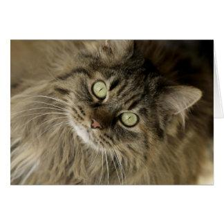 Santa Fe, New Mexico, USA. Maine coon cat. (PR)