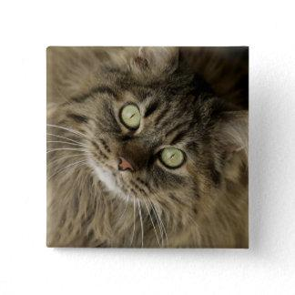 Santa Fe, New Mexico, USA. Maine coon cat. (PR) Button