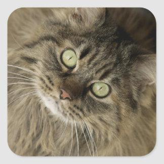 Santa Fe, New Mexico, USA. Maine coon cat. (PR) Square Sticker