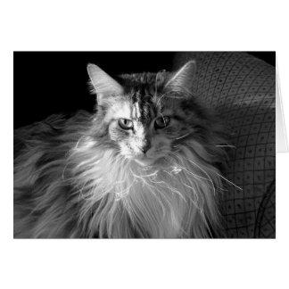 Silver Patched Tabby with White Maine Coon cat
